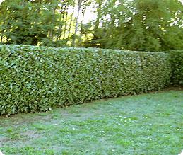 Bonaldo giardini potature effettuiamo potature con for Siepe di alloro